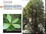 canelo drimys winteri native chilean