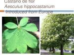 castano de flor aesculus hippocastanum introduced from europe