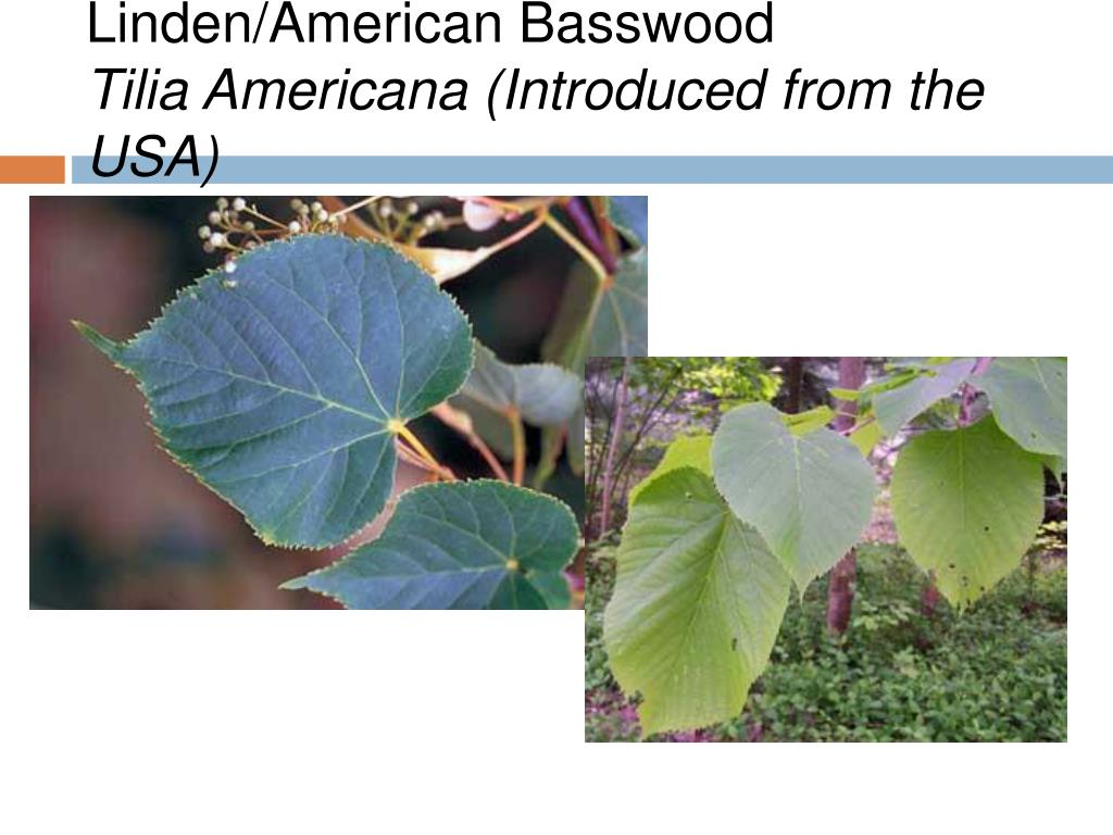 Linden/American Basswood
