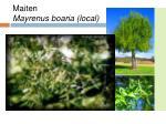 maiten mayrenus boaria local