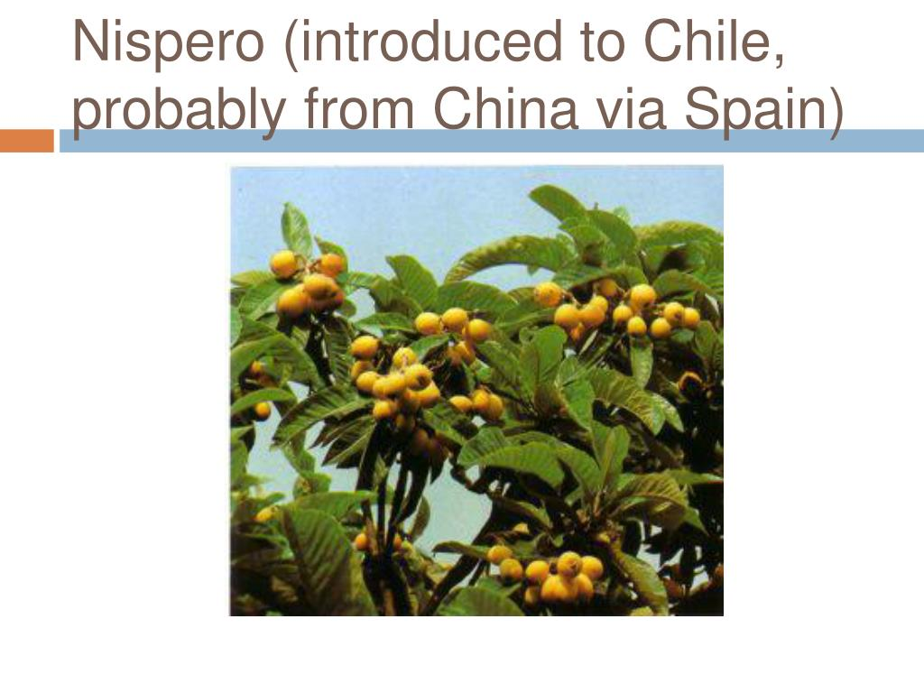 Nispero (introduced to Chile, probably from China via Spain)