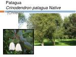 patagua crinodendron patagua native chilean