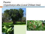 peumo crypotcarya alba local chilean tree