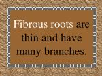 fibrous roots are thin and have many branches