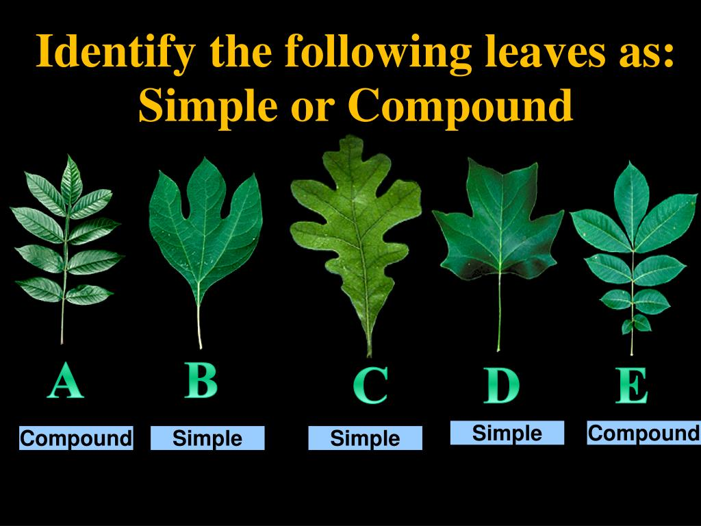Identify the following leaves as: