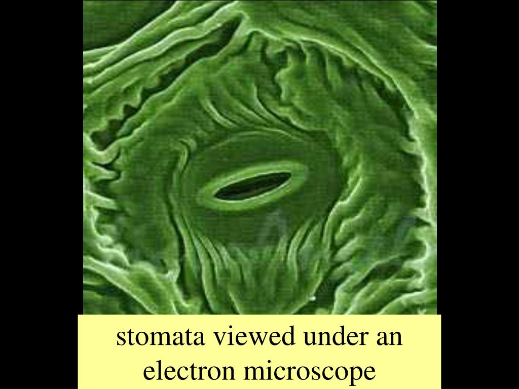 stomata viewed under an electron microscope