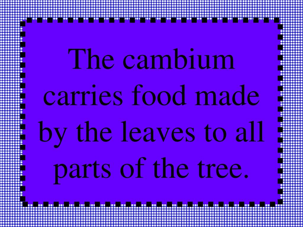 The cambium carries food made by the leaves to all parts of the tree.