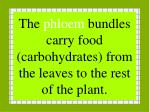 the phloem bundles carry food carbohydrates from the leaves to the rest of the plant