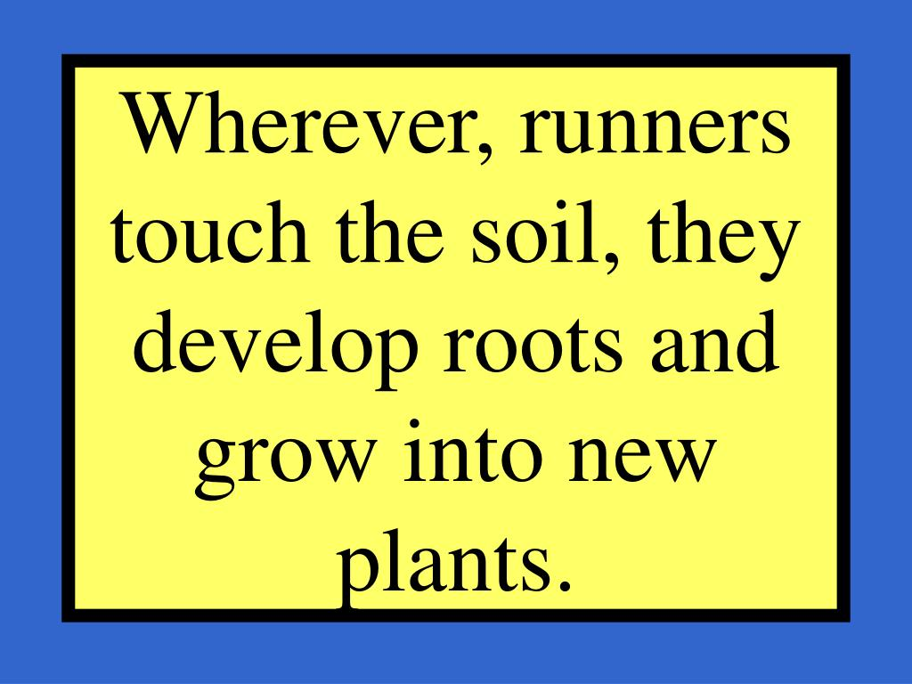 Wherever, runners touch the soil, they develop roots and grow into new plants.