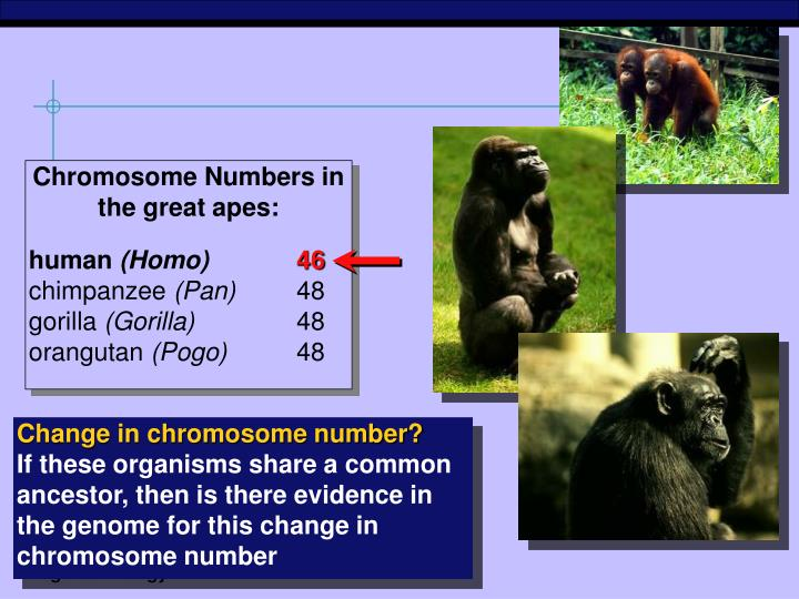 Chromosome Numbers in the great apes: