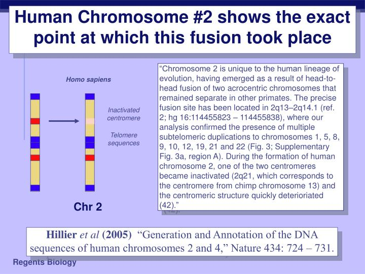 Human Chromosome #2 shows the exact point at which this fusion took place