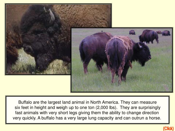 Buffalo are the largest land animal in North America. They can measure