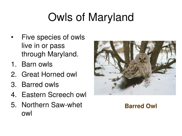Five species of owls live in or pass through Maryland.