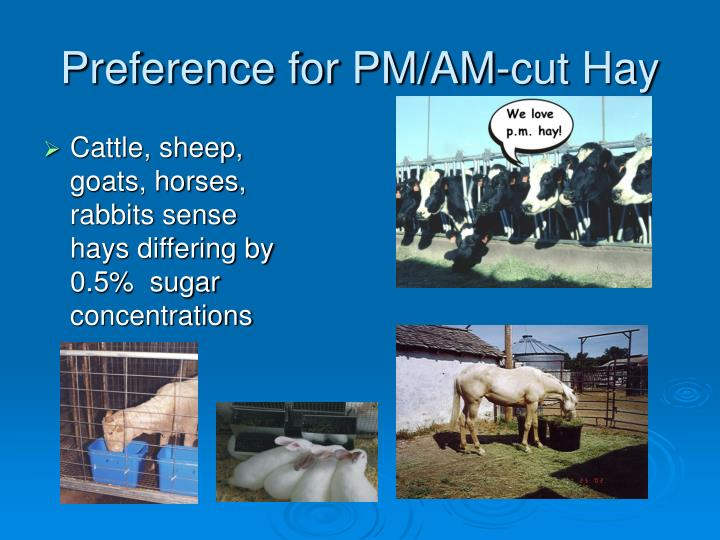 Preference for PM/AM-cut Hay