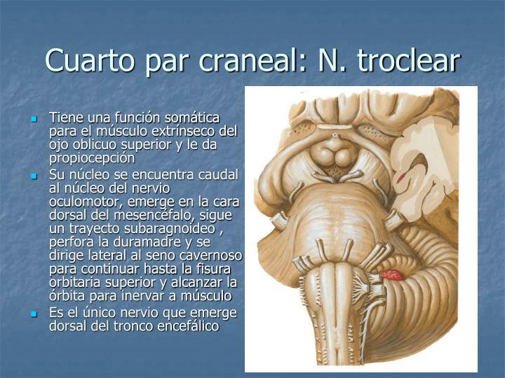 Ppt pares craneales powerpoint presentation id 1325096 for Cuarto par craneal