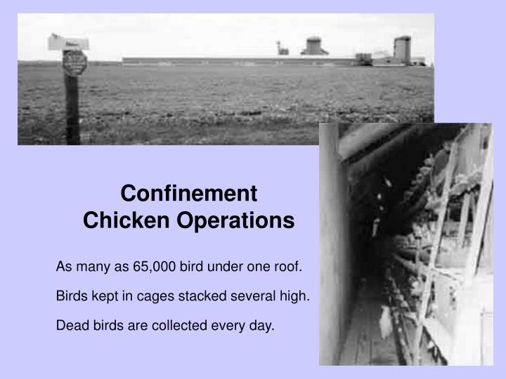 Confinement chickens