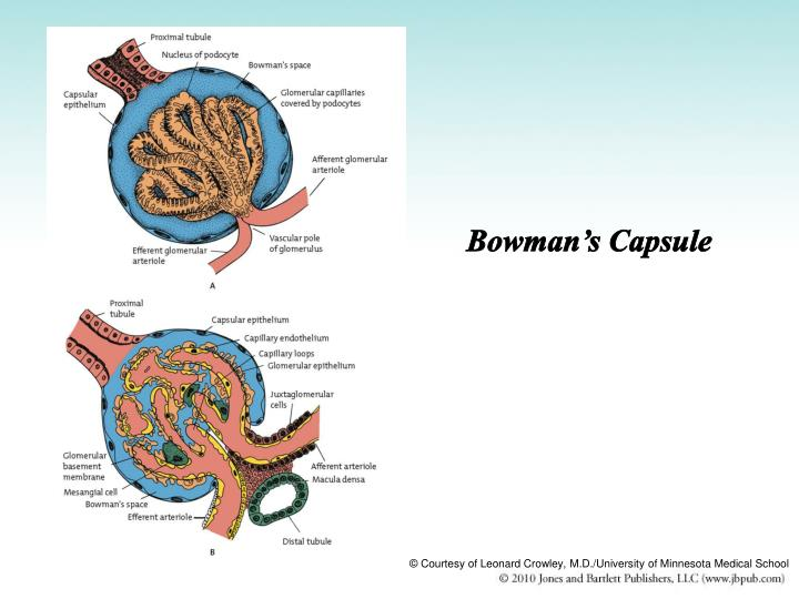 Bowman's Capsule