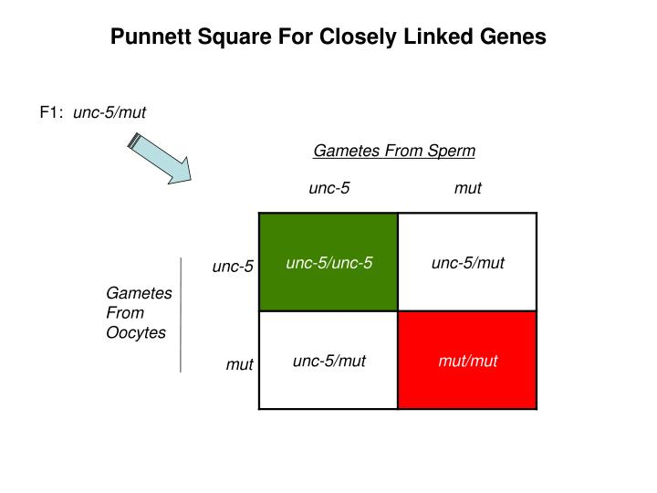 Punnett Square For Closely Linked Genes