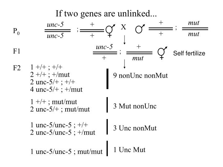 If two genes are unlinked...