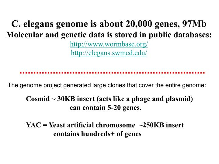 C. elegans genome is about 20,000 genes, 97Mb