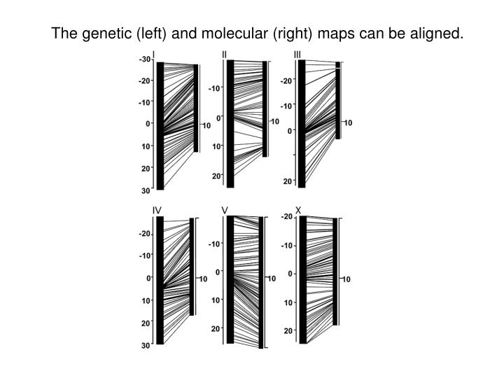 The genetic (left) and molecular (right) maps can be aligned.