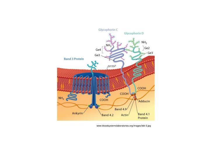 www.bloodsystemslaboratories.org/images/bbt-5.jpg
