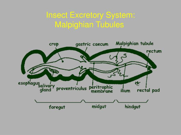 Insect Excretory System: