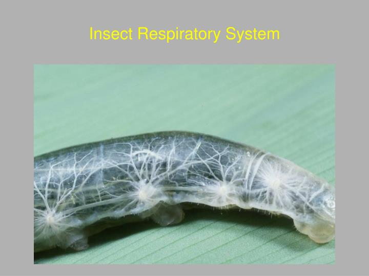 Insect Respiratory System