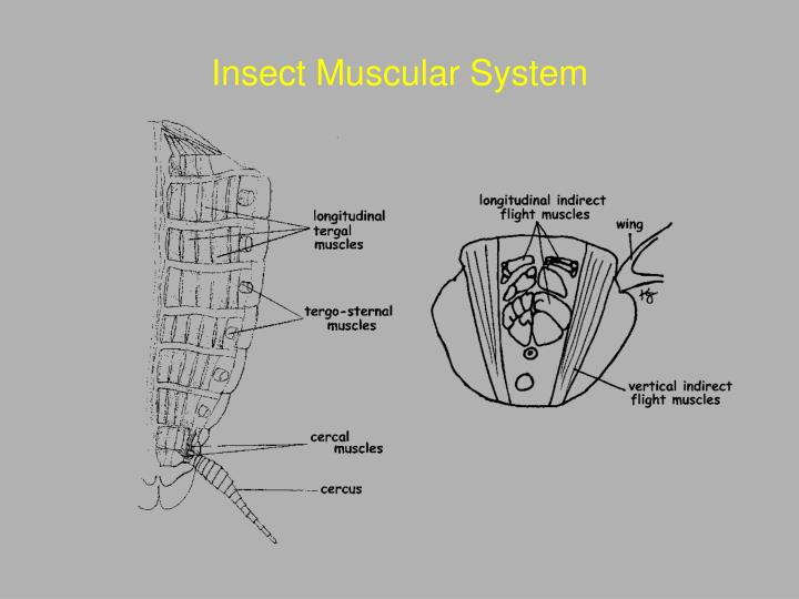 Insect Muscular System