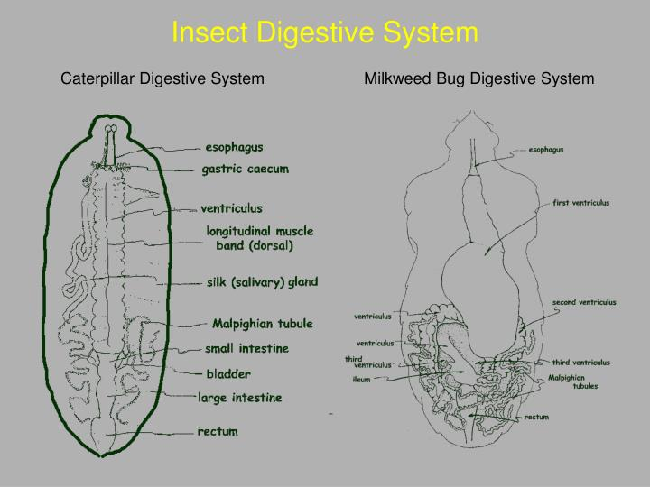 Insect Digestive System