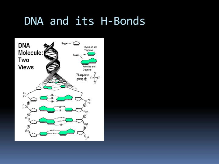 DNA and its H-Bonds