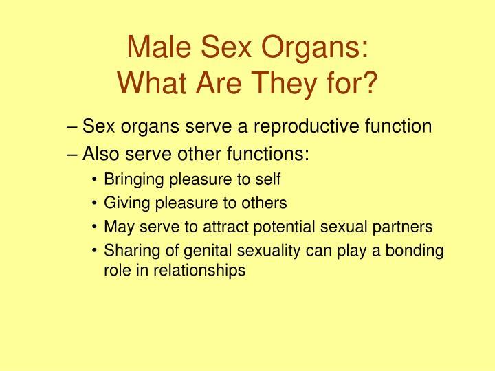 Male Sex Organs: