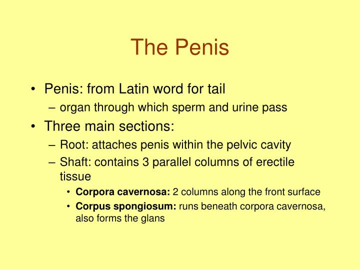 The Penis