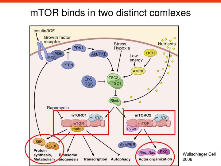 mTOR binds in two distinct comlexes