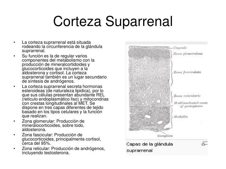 La corteza suprarrenal está situada rodeando la circunferencia de la glándula suprarrenal.