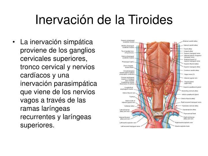 La inervación simpática proviene de los ganglios cervicales superiores, tronco cervical y nervios cardíacos y una inervación parasimpática que viene de los nervios vagos a través de las ramas laríngeas recurrentes y laríngeas superiores.