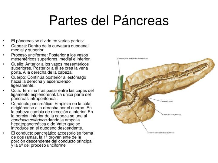 El páncreas se divide en varias partes: