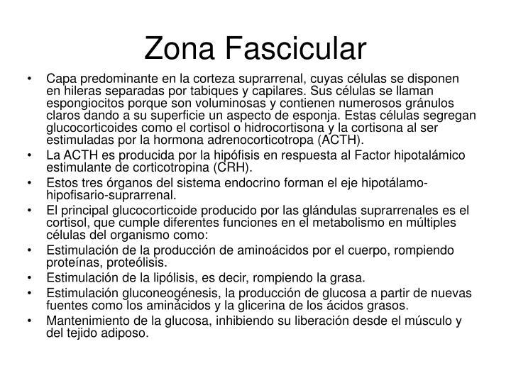 Zona Fascicular