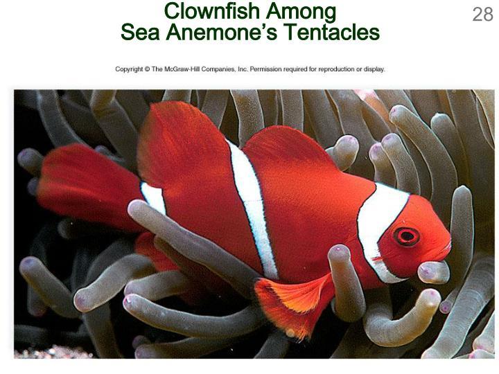 Clownfish Among