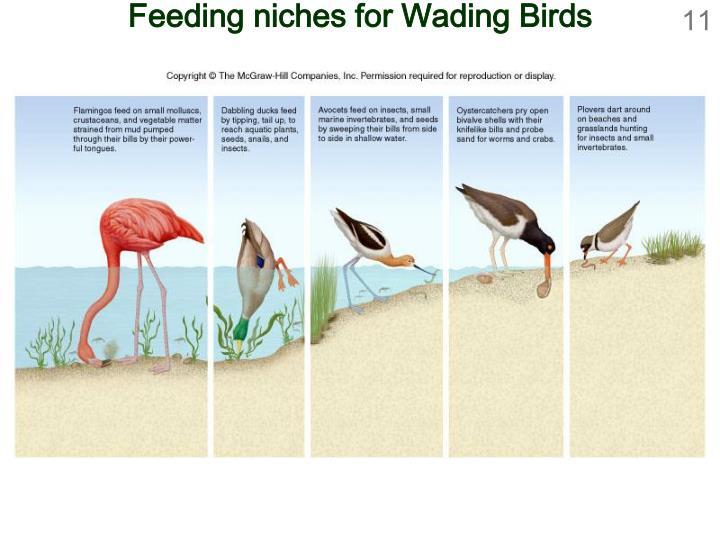 Feeding niches for Wading Birds