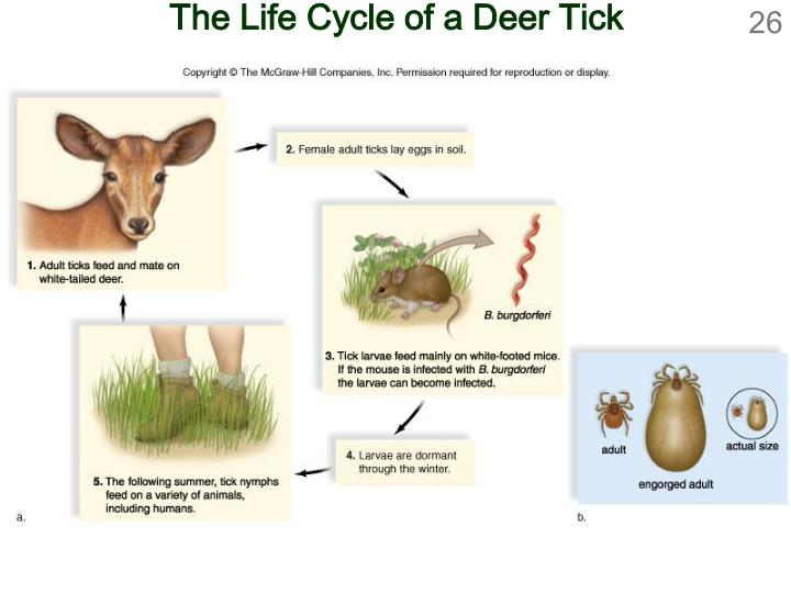 The Life Cycle of a Deer Tick