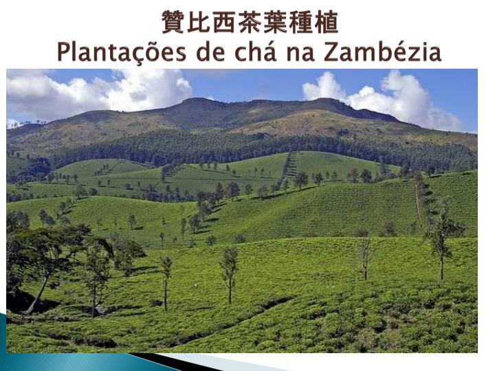 贊比西茶葉種植