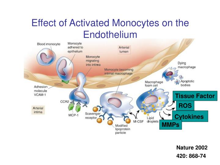 Effect of Activated Monocytes on the Endothelium