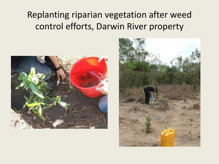 Replanting riparian vegetation after weed control efforts, Darwin River property