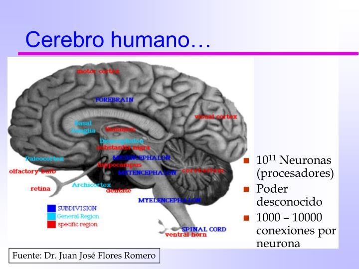 Cerebro humano…
