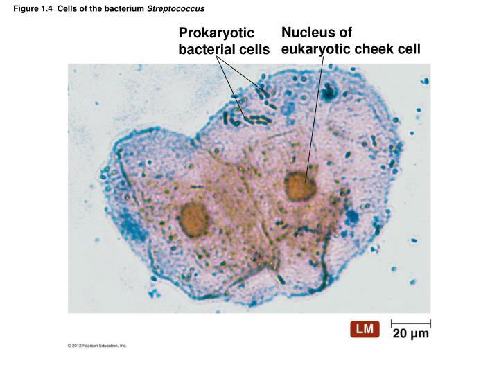Nucleus of