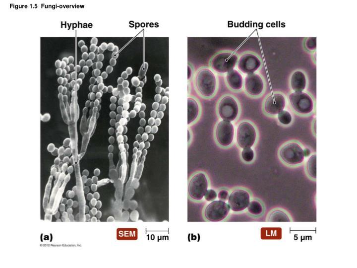 Figure 1.5  Fungi-overview