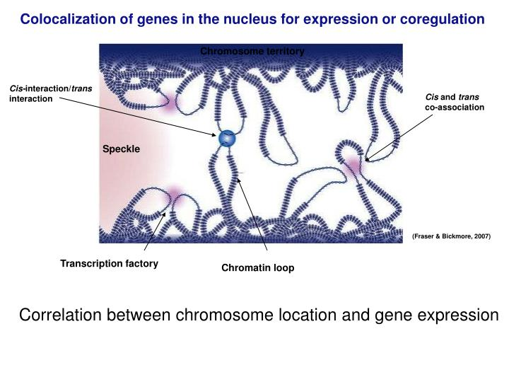 Colocalization of genes in the nucleus for expression or coregulation