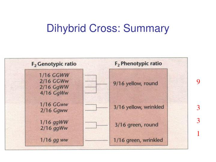 Dihybrid Cross: Summary