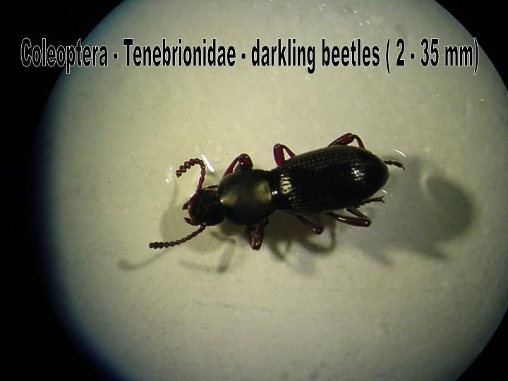 Coleoptera - Tenebrionidae - darkling beetles ( 2 - 35 mm)